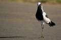 Blacksmith plover vanellus armatus in kruger national park south africa Royalty Free Stock Photos