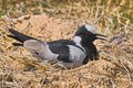 Blacksmith plover vanellus armatus nesting in kruger national park south africa Stock Images