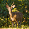 Blacktail Buck Royalty Free Stock Photos