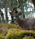 Blacktail Buck close-up Stock Photography