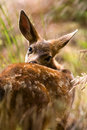 Blacktail Fawn Royalty Free Stock Photo