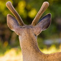 Blacktail Stag in Velvet Stock Photos