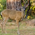 Blacktail Stag in Velvet Stock Image