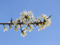 Blackthorn (Prunus spinosa) Royalty Free Stock Photo
