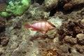 Blacktip grouper Royalty Free Stock Photo