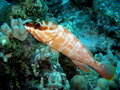 Blacktip Grouper Red Sea Royalty Free Stock Photos