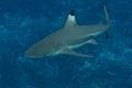 Blacktip reef shark in bora bora french polynesia swimming Royalty Free Stock Photos