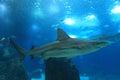 Blacktip whaler Royalty Free Stock Photo
