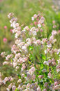 Bladder campion (Silene vulgaris) Royalty Free Stock Images