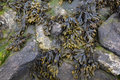 Bladder wrack on rocks photo Stock Photography