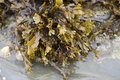 Bladder Wrack Seaweed Royalty Free Stock Images