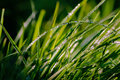 Blades of fresh grass with dew covered in bokeh Stock Photography