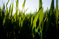 Blades of Grass Royalty Free Stock Photo