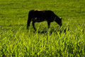 Blades of grass on background blurred cow Stock Photos
