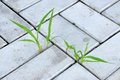 Blades of grass sprouted through the paving slabs Stock Photo
