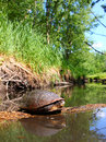 Blandings Turtle Basking on Log Royalty Free Stock Images