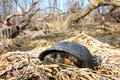 Blandings turtle emydoidea blandingii the is considered an endangered species in the state of illinois Stock Images