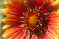 Blanket flower a bright cheerful looking some cousin of a daisy Royalty Free Stock Photo
