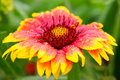 Blanket flower close up with water drops kind gaillardia grandiflora Stock Photography