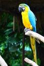 Blauw-en-gouden Ara Stock Afbeeldingen