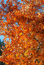 Blaze a burst of orange yellow leaves Royalty Free Stock Images