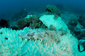 Bleached Coral And Crocodilefish on Pacific Reef Royalty Free Stock Photo