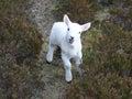 Bleating lamb close up Royalty Free Stock Photo