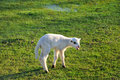 Bleating lamb on the meadow young grasland Stock Photos