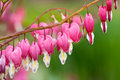 Bleeding heart Stock Photography