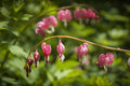 Bleeding heart flower close detail of a stem of shaped flowers Royalty Free Stock Photography