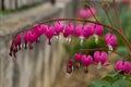 Bleeding heart flower Royalty Free Stock Photo