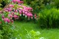 Bleeding heart flower (Dicentra Spectabils) lyre flower love hea Royalty Free Stock Photo