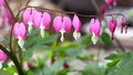 Bleeding heart flower lamprocapnos spectabilis or asian is a species of flowering plant in the poppy family papaveraceae Royalty Free Stock Image