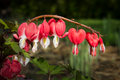 Bleeding Heart Flowers Royalty Free Stock Photo