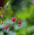 Bleeding Heart Flowers