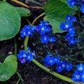Bleeding Heart Flowers, Dicentra spectabilis Royalty Free Stock Photo