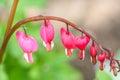 Bleeding Heart Flowers (Dicentra spectabilis or Lamprocapnos spectabilis) Royalty Free Stock Photo