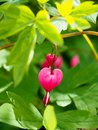 Bleeding Heart Flowers, Dicentra spectabilis pink flowers Royalty Free Stock Photo