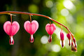 Bleeding Heart Flowers Diminishing Royalty Free Stock Photo