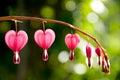 Bleeding Heart Flowers Diminishing Royalty Free Stock Photo