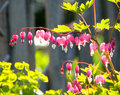 Bleeding Heart Flowers In Garden Stock Photos