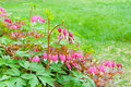Bleeding heart flowers in spring garden dicentra spectabils selective focus Royalty Free Stock Photography