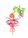 Bleeding heart fuchsia watercolor hanging with leaves painting Royalty Free Stock Photography