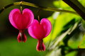 Bleeding heart lamprocapnos spectabilis common name is other include dutchman s breeches lyre flower and lady in a bath the Stock Image