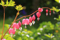 Bleeding heart perennial herb in the garden Stock Image