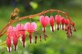 Bleeding heart plant, full bloom