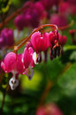 Bleeding Hearts Royalty Free Stock Photography