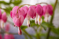 Bleeding Hearts Stock Photos