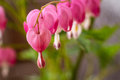 Bleeding Hearts Royalty Free Stock Image
