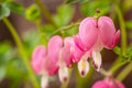 Bleeding Hearts Stock Photography